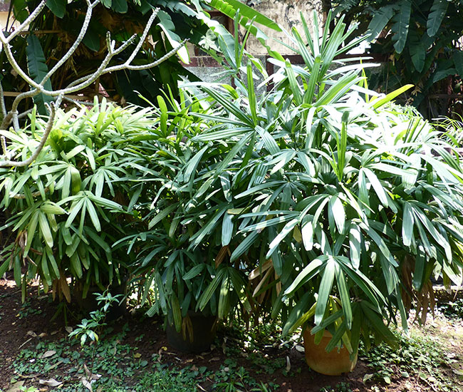 Lady Palm Tree (Rhapis excelsa)