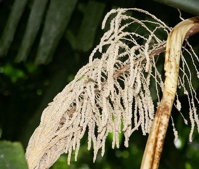 Macaw Palm Tree (Aiphanes minima) flowers