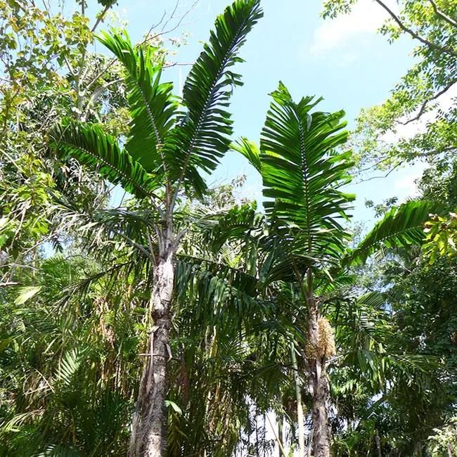 Macaw Palm Tree (Aiphanes minima)
