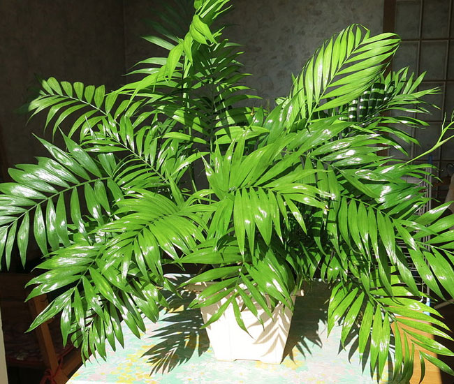 Parlor Palm Tree (Chamaedorea elegans) in a pot