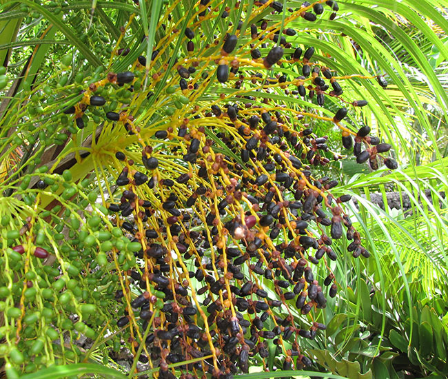 Pygmy Date Palm Tree (Phoenix roebelenii) fruits