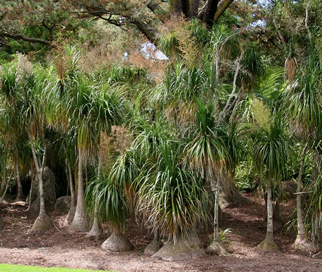 Ponytail Palm Tree (Beaucarnea recurvata)