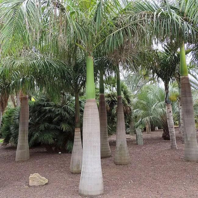 Group of Royal Palm Trees (Roystonea oleracea)