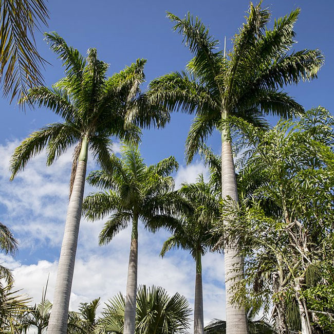 Royal Palm Tree (Roystonea oleracea)