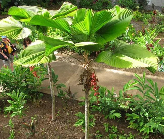 Ruffled Fan Palm Tree (Licuala grandis).