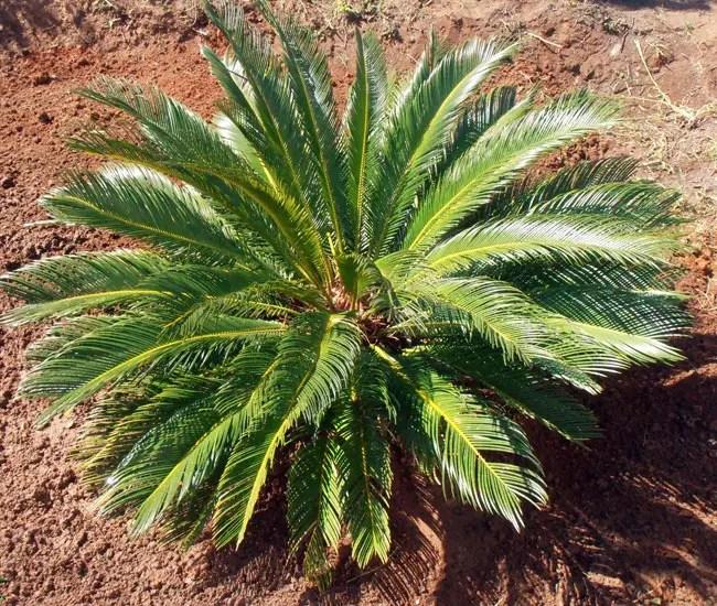 Sago Palm Tree (Cycas revoluta)