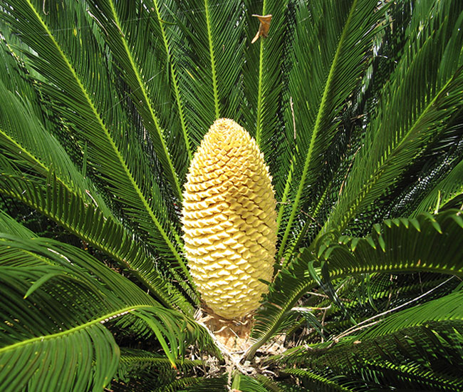Sago Palm Tree (Cycas revoluta) fruits