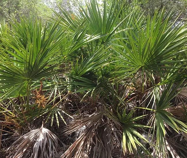 Saw Palmetto Palm Tree (Serenoa repens)