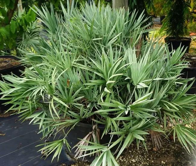 Saw Palmetto Palm Tree (Serenoa repens).