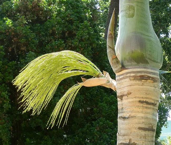 Spindle Palm Tree (Hyophorbe verschaffeltii) flowers