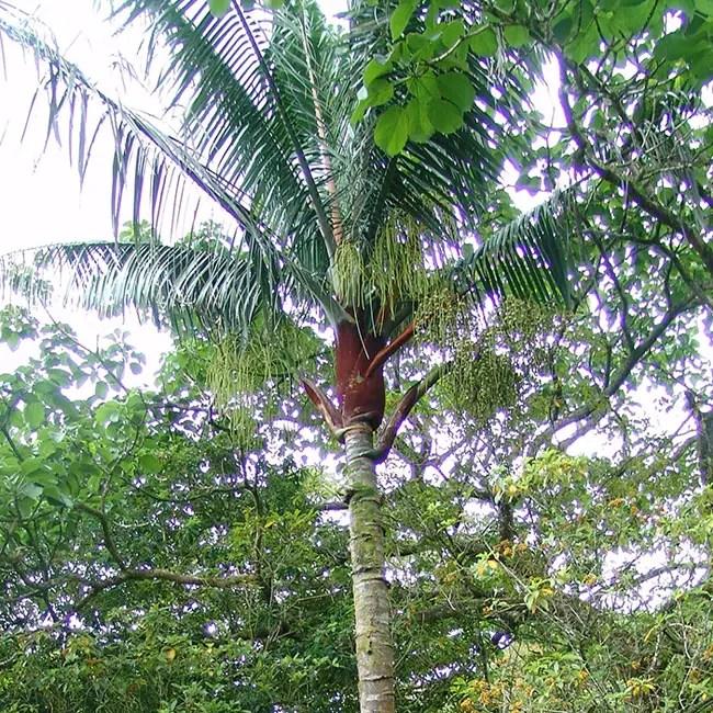 Teddy Bear Palm Tree (Dypsis leptocheilos).