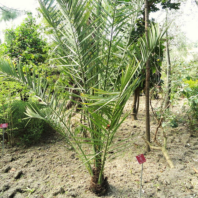Newly planted  True Date Palm Tree (Phoenix dactylifera)