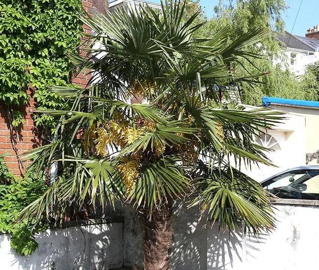 Windmill Palm Tree (Trachycarpus fortunei)