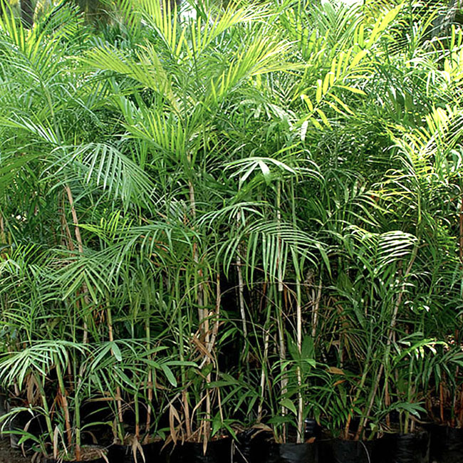 Bamboo Palm (Chamaedorea seifrizii).
