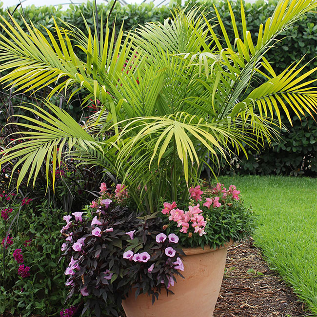 Picture of container Majesty Palm together with pink flowers at the base