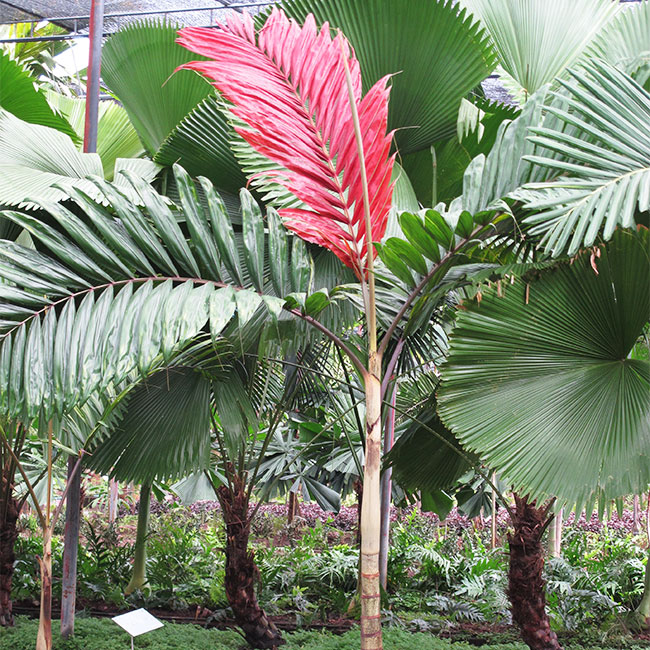 Flame Thrower Palm (Chambeyronia macrocarpa).