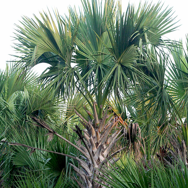 Texas Sabal Palm Tree (Sabal mexicana)