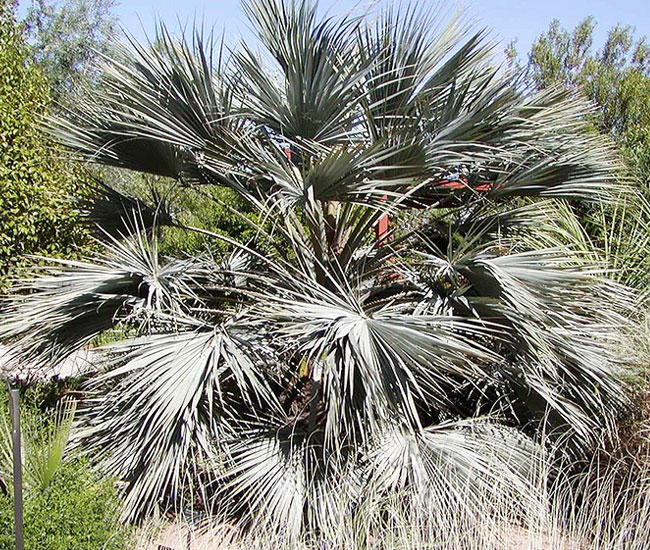 Blue Hesper Palm Tree (Brahea armata).