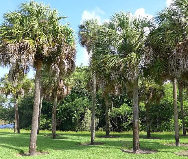 Cabbage Palm (Sabal palmetto)