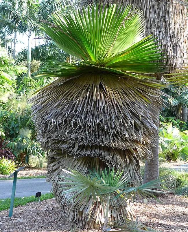 Cuban Petticoat Palm (Copernicia macroglossa).