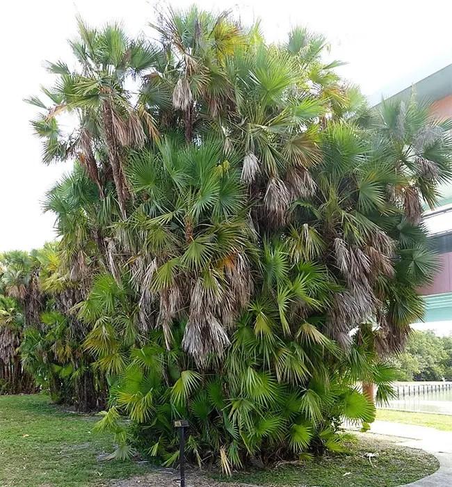Paurotis Palm Tree (Acoelorrhaphe wrightii).