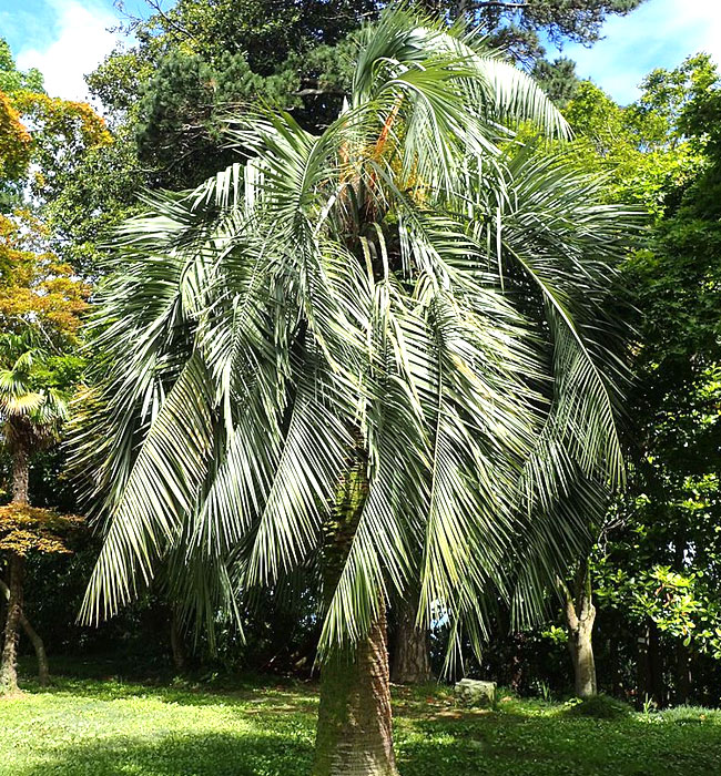 Pindo Palm Tree (Butia capitata)
