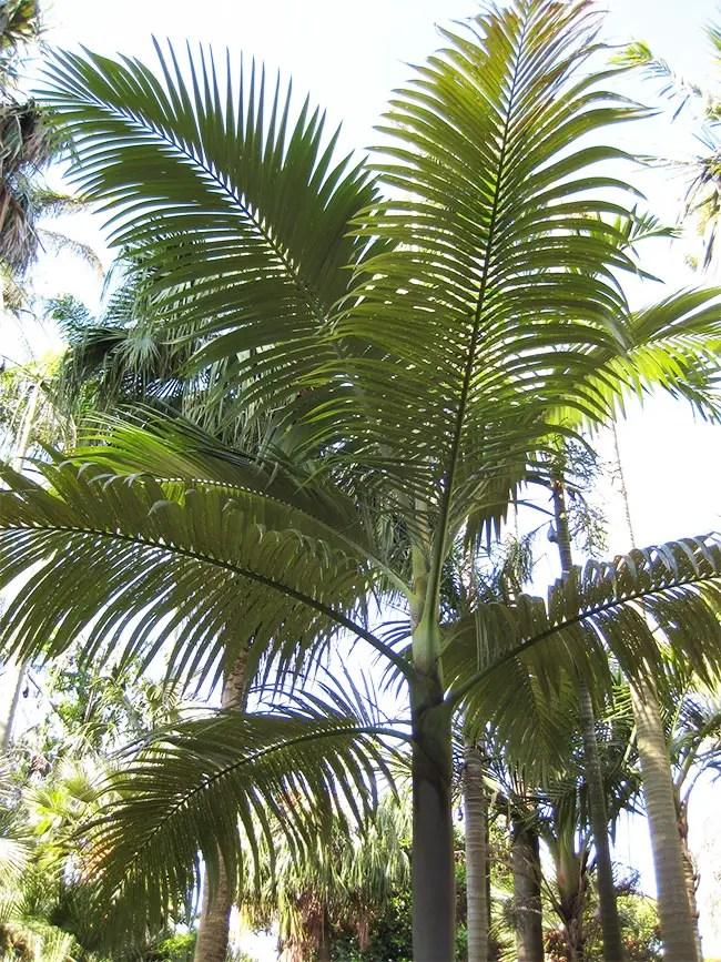 Purple King Palm Tree (Archontophoenix purpurea)