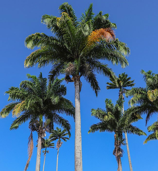 Royal Palm Tree (Roystonea oleracea).