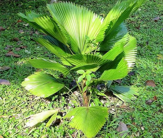 Ruffled Fan Palm Tree (Licuala grandis)