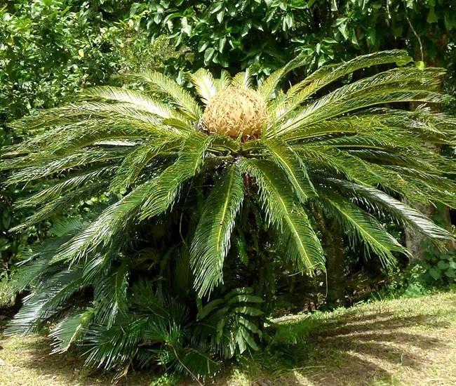 Sago Palm Tree (Cycas revoluta).
