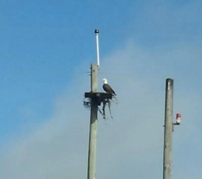 Lake Toho Eagle Nest