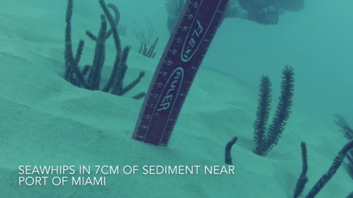 Underwater photo of a ruler inserted into layer of silt 7 centimeters deep  next to seawhips in the ocean near PortMiami.