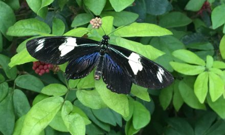 BUTTERFLY PLANTS FOR YOUR GARDEN
