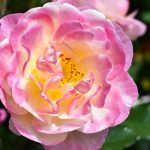 ROSES CAN BE GROWN SUCCESSFULLY IN FLORIDA
