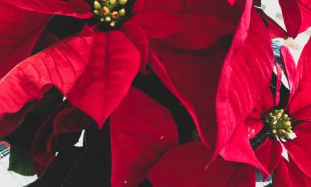 POINSETTIAS HAVE NEW STYLE