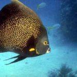 Angel Fish Scuba Diving