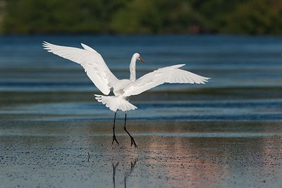 Egret in Biscayne Bay