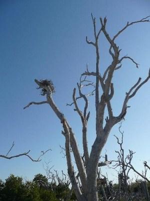 Osprey nest in Cayo Costa State Park