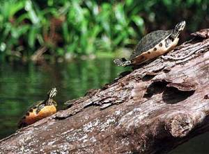 Loxahatchee River, Palm Beach County: Turtles