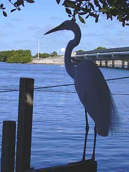 Birds like to fish at Robbie's Marina