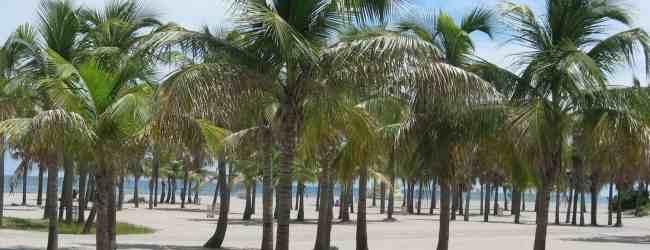 Coconut palms on Crandon Park Beach