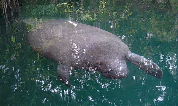 Manatee comes close at Weeki Wachee Springs State Park in Florida