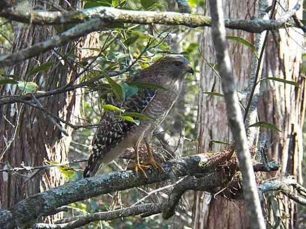 Corkscrew Sanctuary Naples hawk