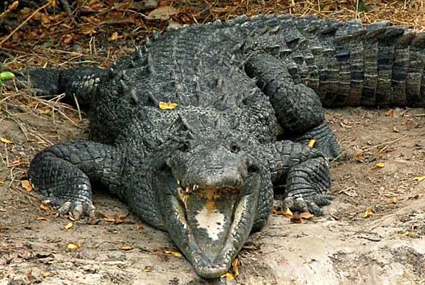 Crocodile near Flamingo in the Everglades