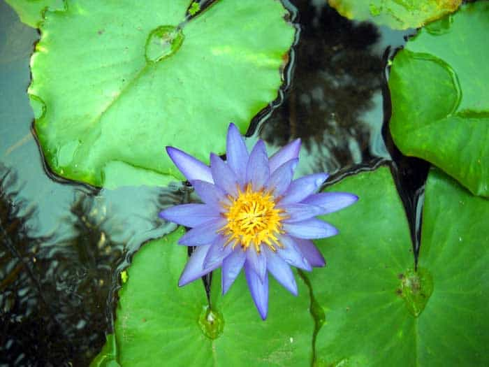 Water lily at McKee Botanical Gardens, Vero Beach