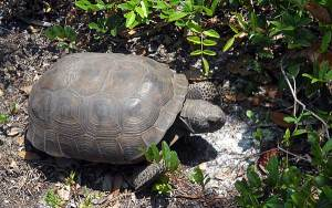 Tortoise at Washington Oaks Gardens State Park, Palm Coast