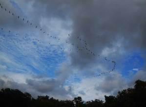 White pelican migration over Charlotte Harbor, Florida