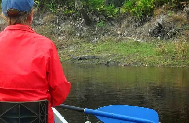 Gator on Peace River canoe trip