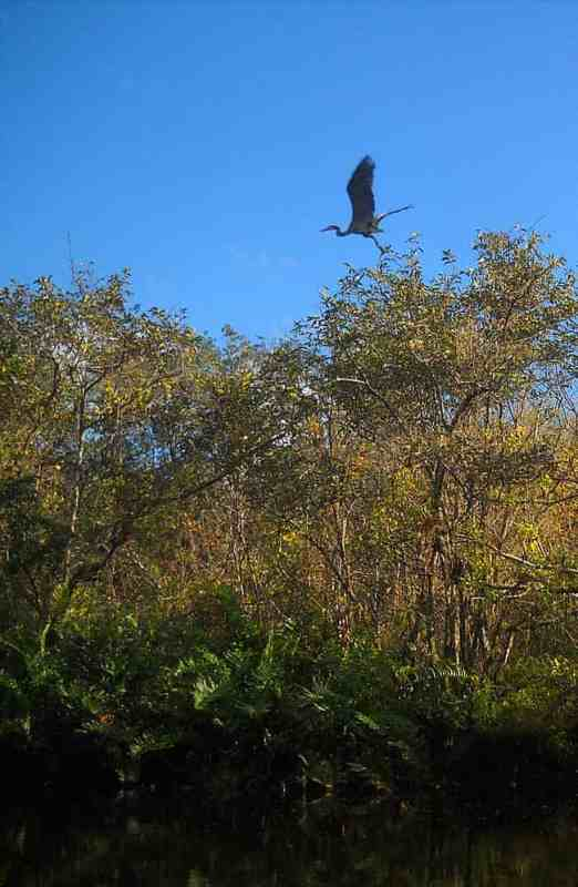 Heron flies over St. Lucie River South Branch