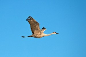 Single Sandhill Crane at Paynes Prairie Preserve in Florida
